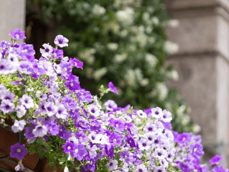 Purple and white flowers are one element of good balcony decoration